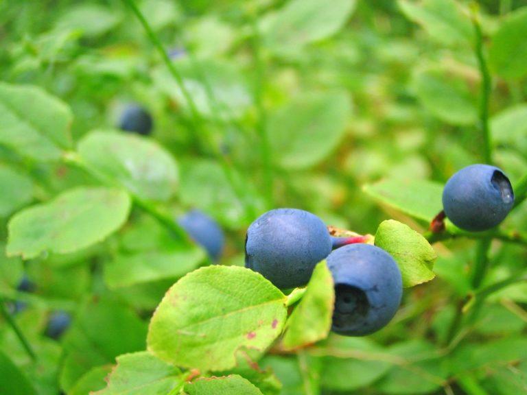 Wie sollte man amerikanische Heidelbeere anbauen?