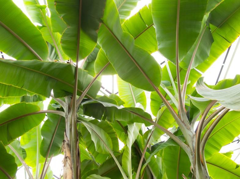 Bananengewächse
