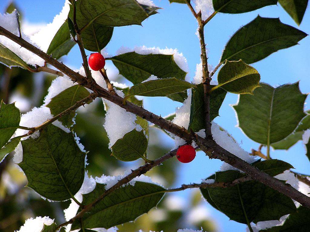 Die schönsten weihnachtlichen Gartenpflanzen