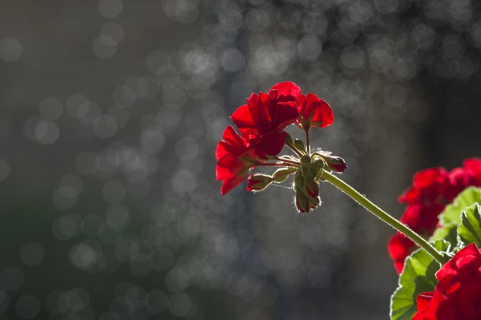 Überwinterung von Pelargonien – Wie macht man es richtig?